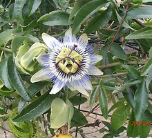 Passionflower by Jacqueline Eirian McKay
