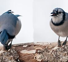 Smart Blue Jay ~ Best Viewed Large Size by barnsis