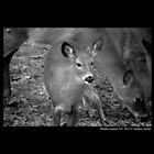 Odocoileus Virginianus - White-Tailed Fawn by © Sophie W. Smith