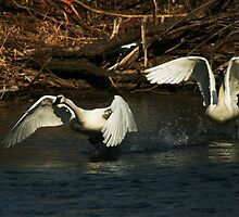 Swan Dance by Michael  Kemp
