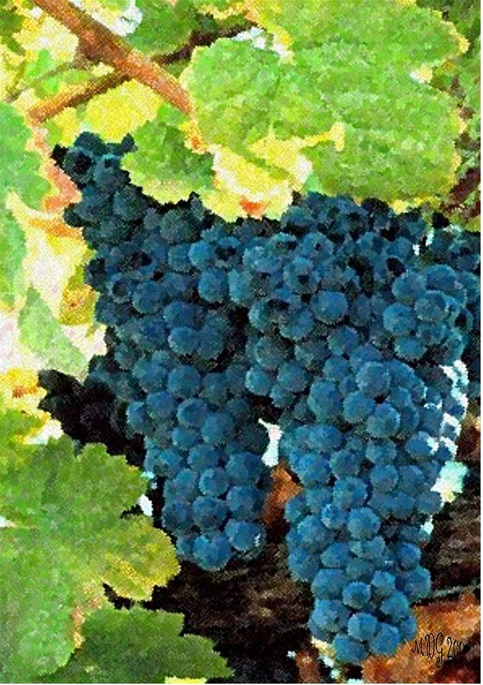 Grapes Fruit On The Vine Print, Poster & Card by Oldetimemercan
