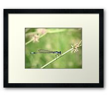 Bluetail Damselflie Framed Print