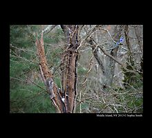 Cyanocitta Cristata And Sciurus Carolinensis - Blue Jay And Eastern Gray Squirrel In Old Tree  by © Sophie W. Smith