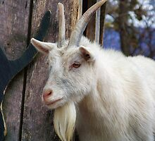 Billy Goat by James Brotherton