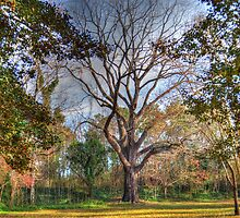 Black Walnut Tree by Darryl Krauch