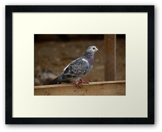 Farm Pigeon by njumer