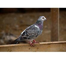 Farm Pigeon Photographic Print