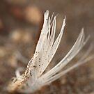 Beach feather... by Emma  Wertheim