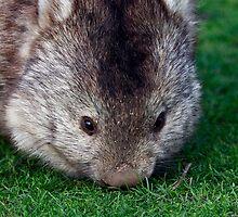 Wombat- Maria Island, Tasmania by PepperPotPics