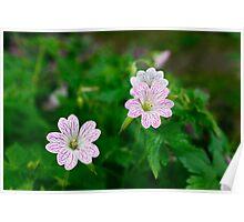 Geranium- Wychwood Garden, Mole Creek, Tasmania Poster