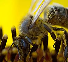 Bee on Sunflower by Henry Jager