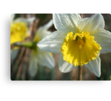 Daffodil and Dew- our garden Canvas Print