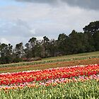 Red Streak- Van Dieman's Bulb Farm, Wynyard Tasmania by PepperPotPics
