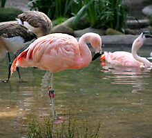 Chilean Flamingo by Henrik Lehnerer