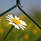Freedom of a flower by kurtolo