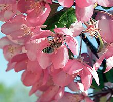 Pink apple blossoms and a bee by Tjfarthing