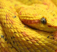 Eyelash Viper (Bothriechis schlegelii) by Matsumoto