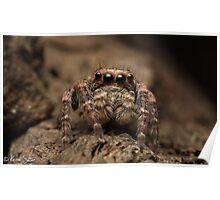 (Servaea vestita) Jumping Spider #3 Poster