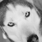 Siberian Stare by Estell