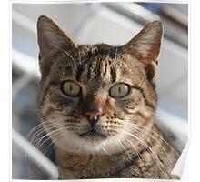 Beautiful Eyed Tabby Cat Poster