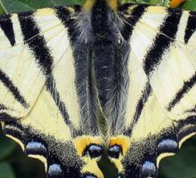 Scarce Swallowtail, Iphiclides Podalirius Sticker