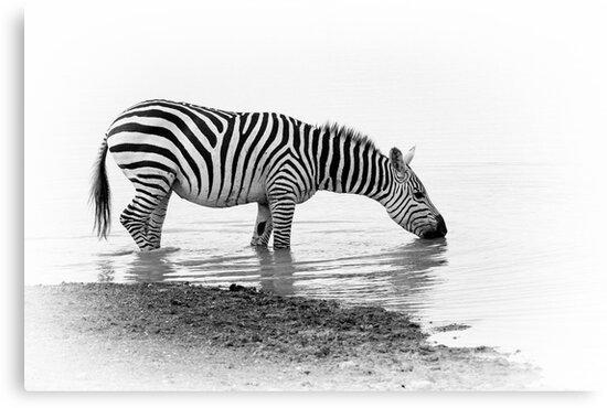 Drinking Zebra-Masai Mara Kenya by Pascal Lee (LIPF)