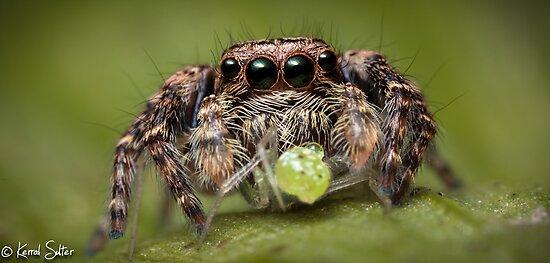 (Servaea vestita) Jumping Spider #4 by Kerrod Sulter