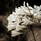 Moonlight Agapanthus by onemistymoo