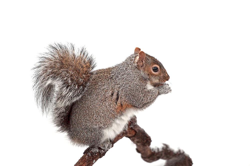 Grey Squirrel by Grant Glendinning
