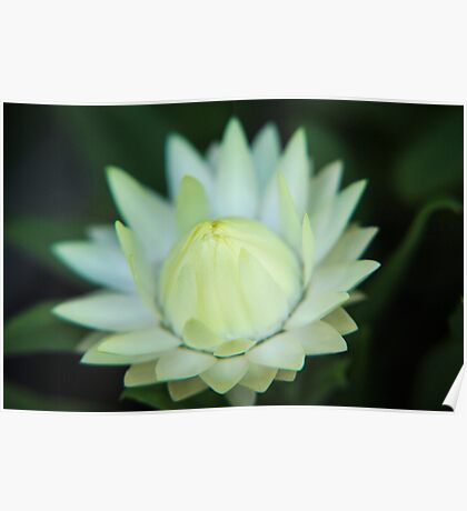 White Paper Daisy Poster