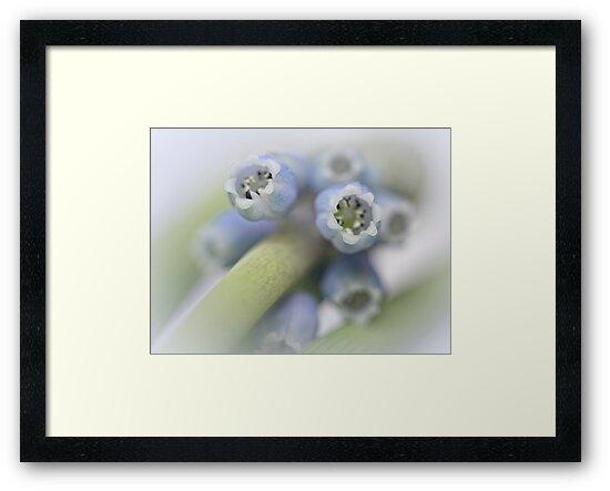 Grape Hyacinth I by Bob Daalder