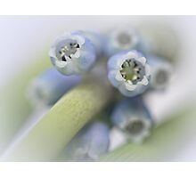Grape Hyacinth I Photographic Print
