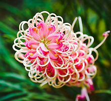 Pink Grevillea Majestic by Alison Hill