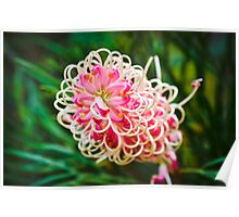 Pink Grevillea Majestic Poster
