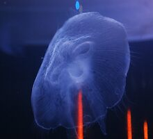 Jelly fish by amylauroo
