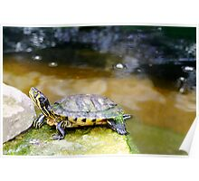 Yellow Bellied Slider Turtle Poster