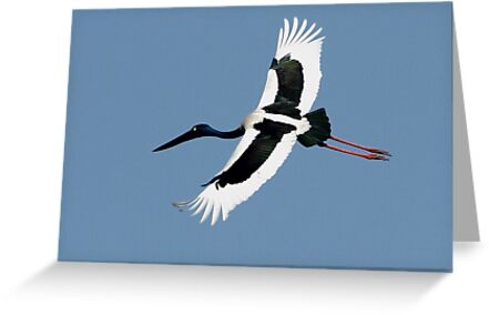 """The Black-Necked Stork in flight."" by debjyotinayak"