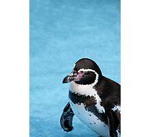 Magellanic Penguin Photographic Print