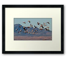 A Sedge of Cranes Framed Print