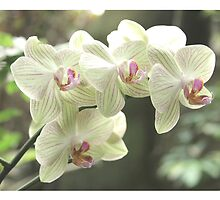 Orchid White by Laura  McGregor
