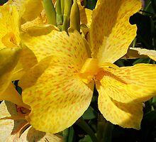 Yellow Canna Lily by SRowe Art
