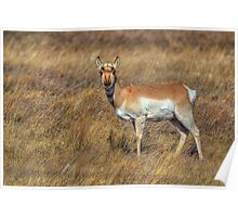 Doe Pronghorn Poster