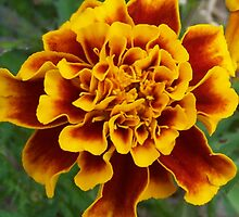 Marigold by James Brotherton
