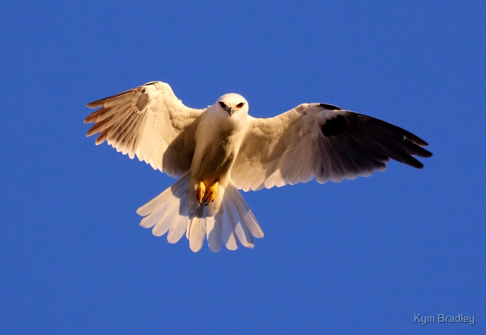 Black Shouldered Kite by Kym Bradley