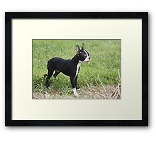 Boston Pup With Leaf In His Mouth Framed Print