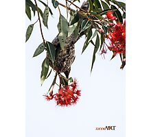 Little Wattle bird Photographic Print