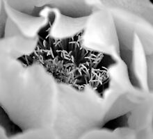 Black and White Cactus Rose by wessonp