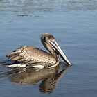 Female Brown Pelican by CarryOnWayward
