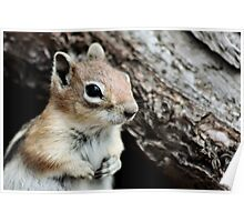 Golden Mantled Ground Squirrel 4 Poster