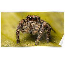 (Servaea vestita) Jumping Spider #5 (focus Stacked) Poster